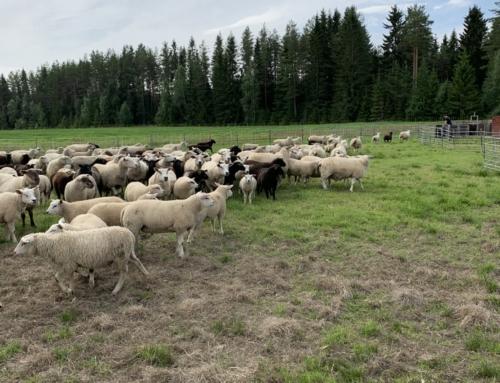 Skitväder, fårskiljning och nästa REKO-utlämning